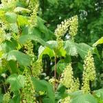 Acer spicatum Lam (Клен колосистый) 16