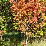 Acer spicatum Lam (Клен колосистый) 17