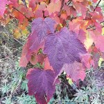 Acer spicatum Lam (Клен колосистый) 18