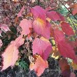 Acer spicatum Lam (Клен колосистый) 19