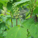 Acer spicatum Lam (Клен колосистый) 2