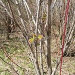 Acer spicatum Lam (Клен колосистый) 20