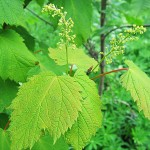 Acer spicatum Lam (Клен колосистый) 3