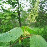 Acer spicatum Lam (Клен колосистый) 4
