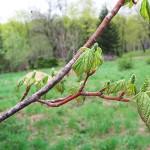 Acer spicatum Lam (Клен колосистый) 6