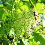 Acer spicatum Lam (Клен колосистый) 7