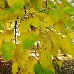 Acer tataricum L. (Клен татарский) 10
