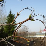 Acer tataricum L. (Клен татарский) 12