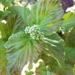 Acer tataricum L. (Клен татарский) 13