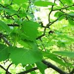 Acer tataricum L. (Клен татарский) 3