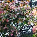Acer tataricum L. (Клен татарский) 5