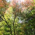 Acer tataricum L. (Клен татарский) 6