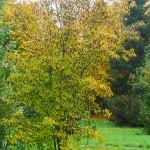 Acer tataricum L. (Клен татарский) 7