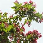 Acer tataricum L. (Клен татарский) 9