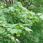 Acer tegmentosum Maxim (Клен зеленокорый) 10