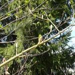 Acer tegmentosum Maxim (Клен зеленокорый) 14