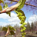 Acer tegmentosum Maxim (Клен зеленокорый) 15