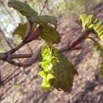 Acer tegmentosum Maxim (Клен зеленокорый) 17