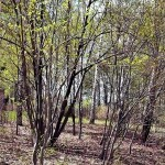 Acer tegmentosum Maxim (Клен зеленокорый) 18