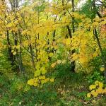 Acer tegmentosum Maxim (Клен зеленокорый) 4