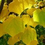 Acer tegmentosum Maxim (Клен зеленокорый) 5