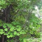 Acer tegmentosum Maxim (Клен зеленокорый) 6