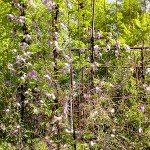 Atragene alpina L. (Княжик альпийский) 1