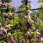 Atragene alpina L. (Княжик альпийский) 2