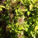 Atragene alpina L. (Княжик альпийский) 4