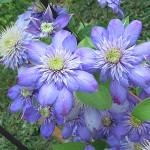 Clematis 'Blue Lingt' (Клематис 'Blue Lingt')