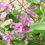 Clematis 'Zoin Inspiration' (Клематис 'Zoin Inspiration')