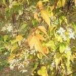 Clematis apiifolia DC. (Клематис сельдереелистный)