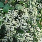 Clematis brevicaudata DC. (Клематис короткочерешковый) 1