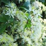 Clematis brevicaudata DC. (клематис короткочерешковый)
