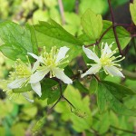 Clematis fargesii Franch. (Клематис Фаргеза) 1