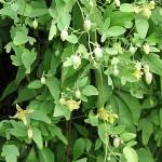 Clematis glauca Willd. (Клематис сизый) 1