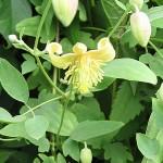 Clematis glauca Willd. (Клематис сизый)