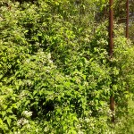 Clematis gouriana (Клематис Гоуриана) 1