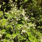 Clematis gouriana (Клематис Гоуриана) 2