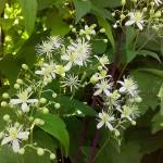 Clematis gouriana (Клематис Гоуриана) 4