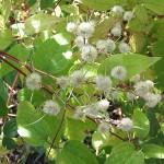 Clematis gouriana (Клематис Гоуриана) 5