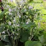 Clematis heracleifolia DC. (Клематис борщевиколистный)