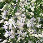Clematis heracleifolia 'Robert Brydon' (Клематис борщевиколистный 'Robert Brydon')