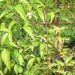 Clematis orientalis L. (Клематис восточный) 2