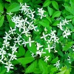 Clematis paniculata Thunb. (Клематис метельчатый)