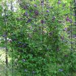 Clematis viticella L. (Клематис фиолетовый) 1