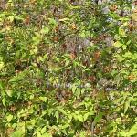 Clematis viticella L.(Клематис фиолетовый) 3