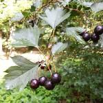 Crataegus almaatensis Pojark. (Боярышник алмаатинский) 12