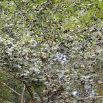 Crataegus almaatensis Pojark. (Боярышник алмаатинский) 7