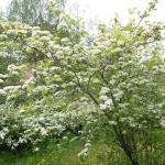 Crataegus collina Chapm. (Боярышник холмовой) 1